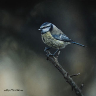 Perching blue tit, acrylic.