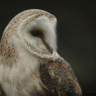 Barn Owl, acrylic.