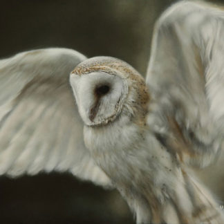 Barn owl in flight, acrylic.
