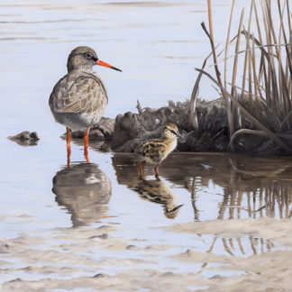 Clive Meredith, Redshank and Chick