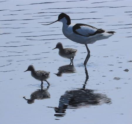 Quiet-Reflections-Avocet-&-chicks