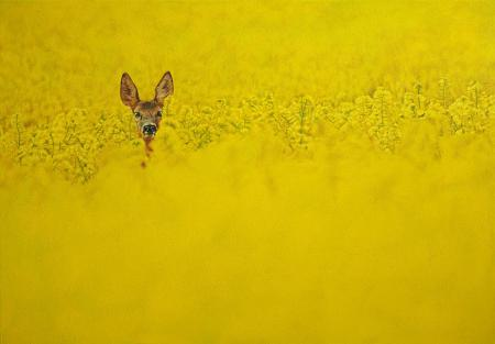 Roe deer head, peeking through vivid yellow rapeseed, oil